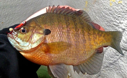 Finding and catching trophy bluegills is a challenge countless panfish fans love to tackle.
