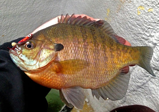 10 top trophy bluegill destinations in fisherman for Ice fishing bluegill