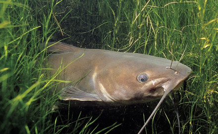 Fish like edges. Channel catfish are no exception. They like both outside and inside weededges.