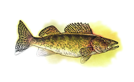 Simpson.image.WIM-0505-INPRFP-Walleye