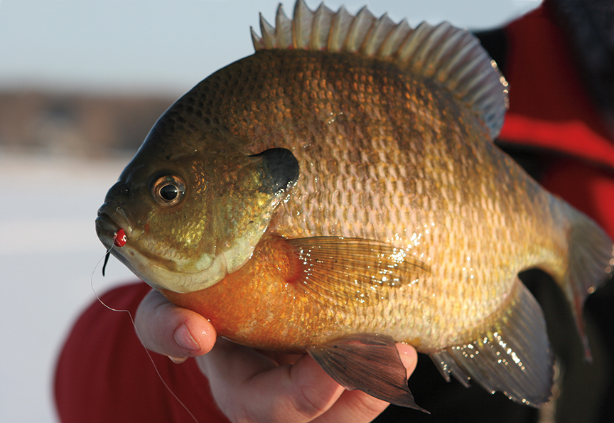 First Ice Bluegills