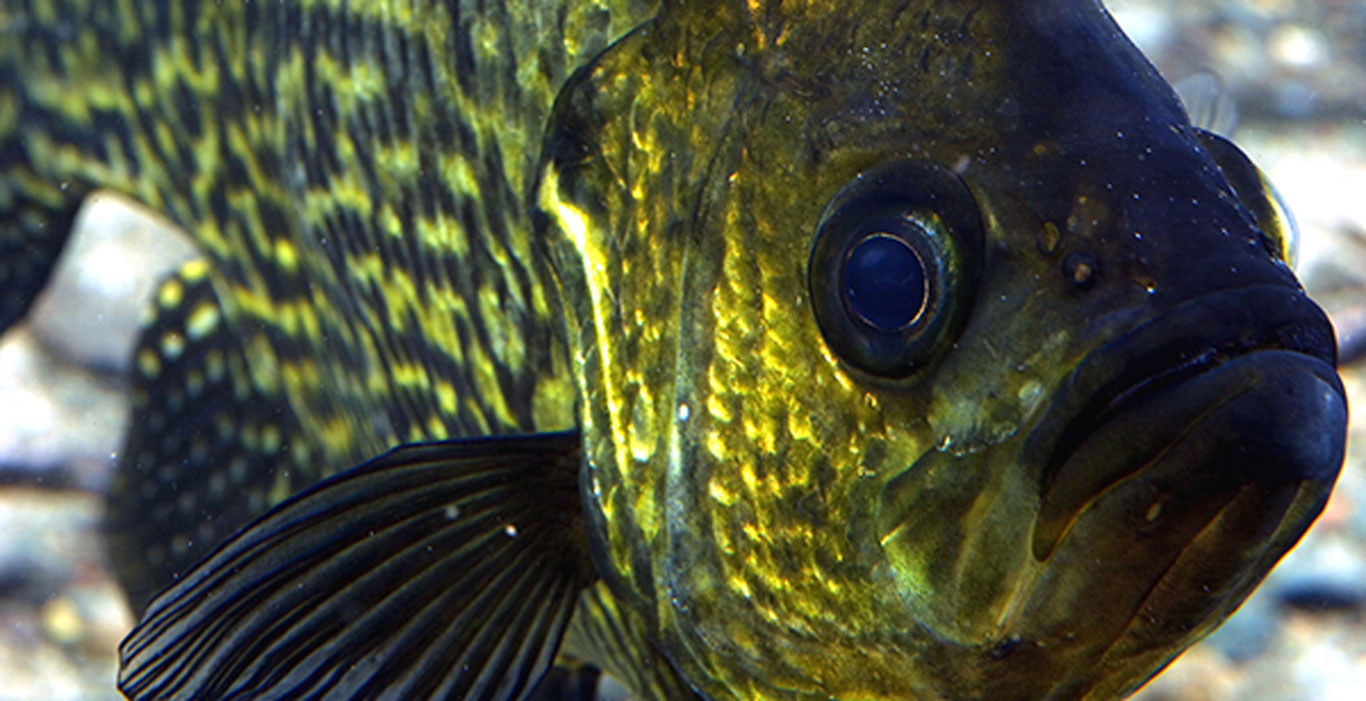 Black-Crappie-Length-To-Weight-Conversion-Chart