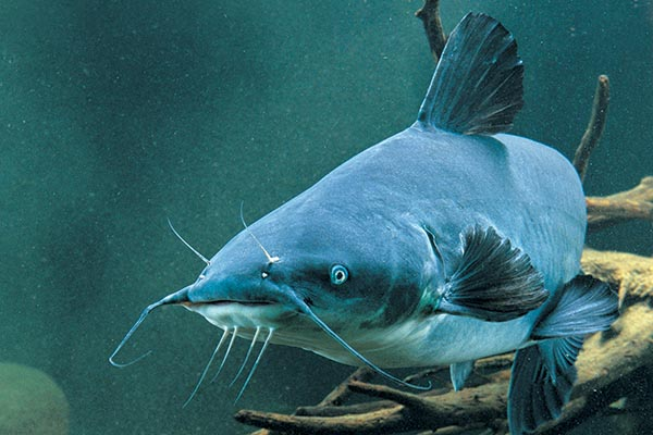 Blue Catfish Length To Weight Conversion Chart