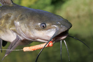 Channel Catfish Length To Weight Conversion Chart