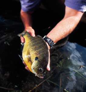 A Case for Selective Bluegill Harvest