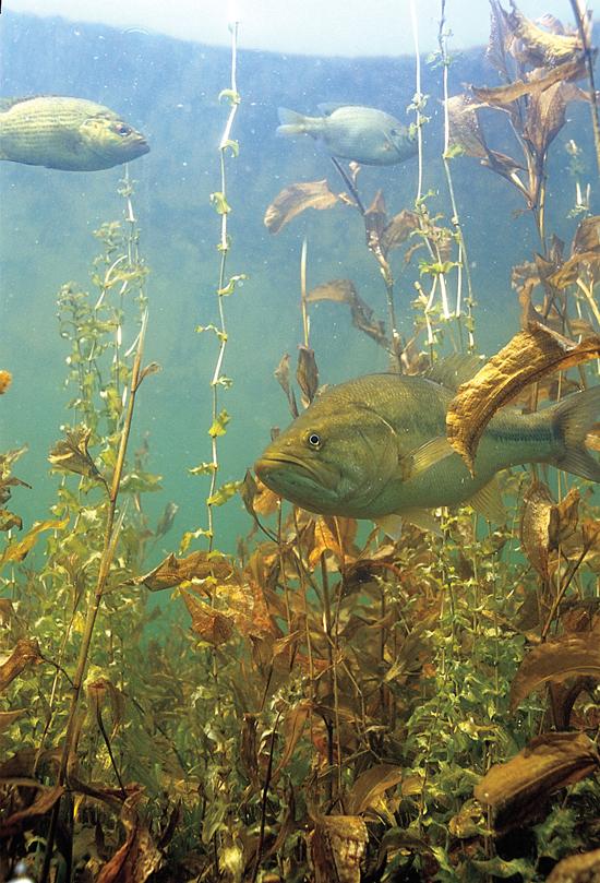 Bass In Weeds