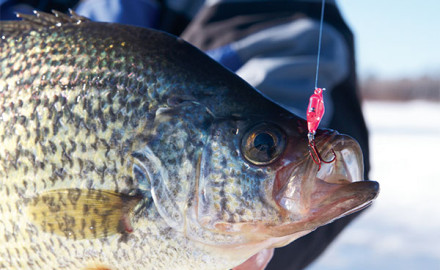Photo Credit | CLAM What do winter crappies have in common with summer smallmouth bass? Many