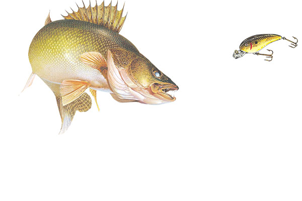 Walleye Senses