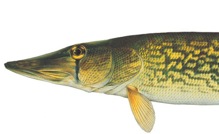 Many fishermen, especially bass anglers, tend to scoff at chain pickerel and their predatory aggression.
