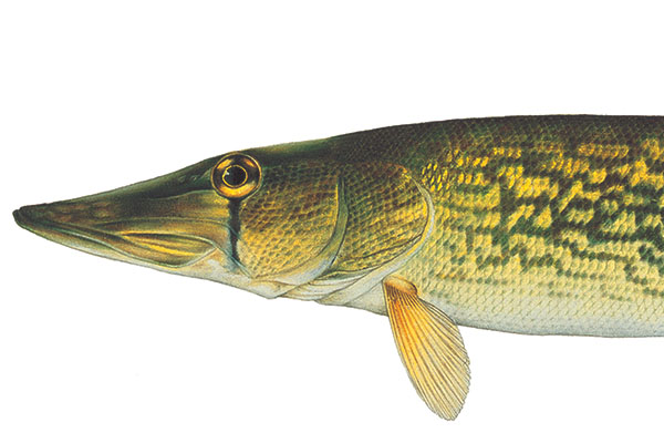 Chain Pickerel Quest