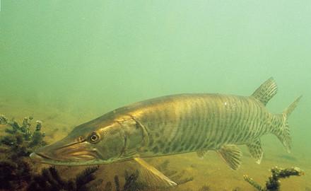 Muskie Fishing Secrets