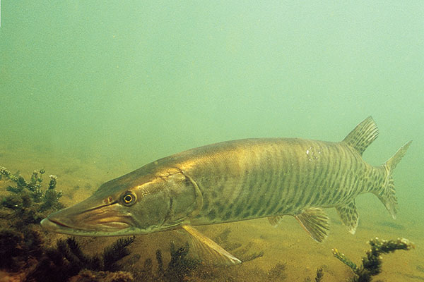 Muskie Fishing Secrets