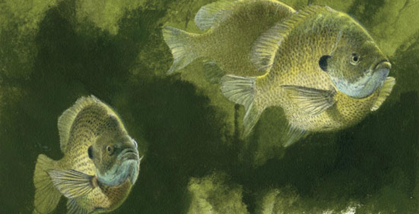 Sunfish Spawn Process - In-Fisherman