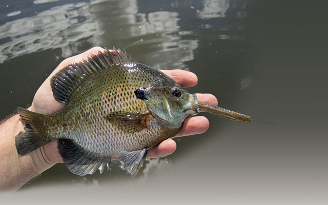 Tail-Hook Rigs for Panfish that Nibble