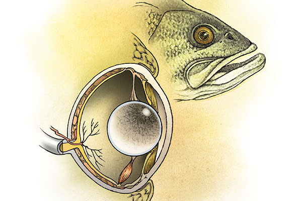 Cracking the code on fish vision