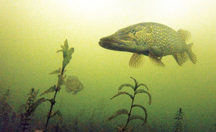Pike Searching Plants Under Ice