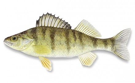 Here we take a look at the common types of walleye forage.