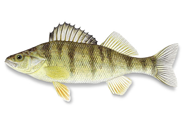 Types of Walleye Forage