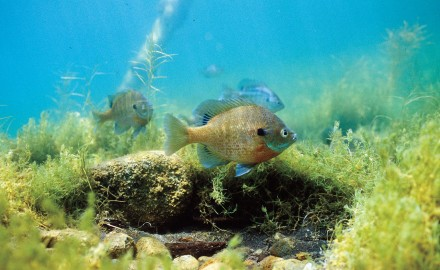 Until a few years ago, the management strategy for good bluegill fishing—meaning good numbers