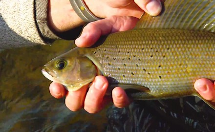 Crazy fast and frantic fishing prevails, as the In-Fisherman staff catches arctic grayling on every cast.