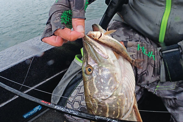 Catching Late Summer Pike on Livebait