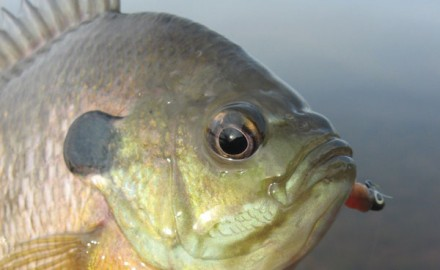 During summer, panfish need to eat the most, as energy reserves burn faster in the warmest water of the year.