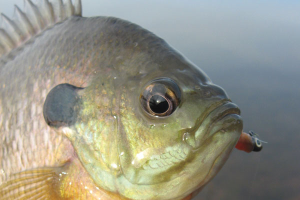 How to Find a Summertime Panfish Pattern