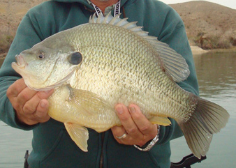 //www.in-fisherman.com/files/arizona-record-redear-sunfish/closecrophectorhighres.jpg