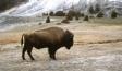 buffalo1-300x225