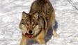 wolf-300x207