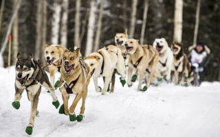 Iditarod Unleashed Marches on with Marathon Coverage