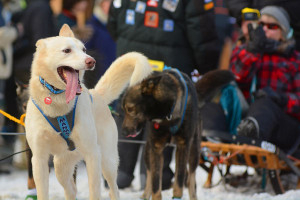 2015 Iditarod Sled Dog Race 2-Hour Special