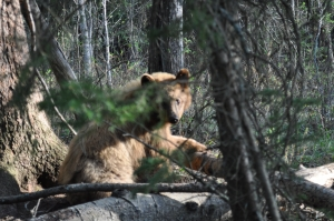 The color phase bear that was heading towards Larry's bait site.