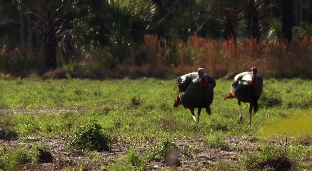2 Gobblers Walking iN