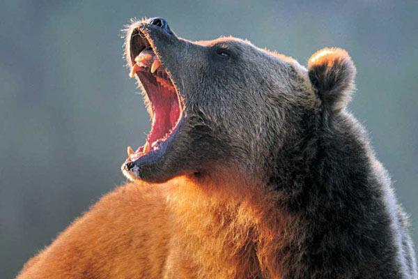 grizzlybear_1