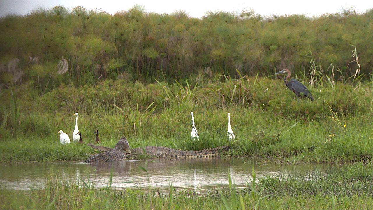 CrocodilesMozambique