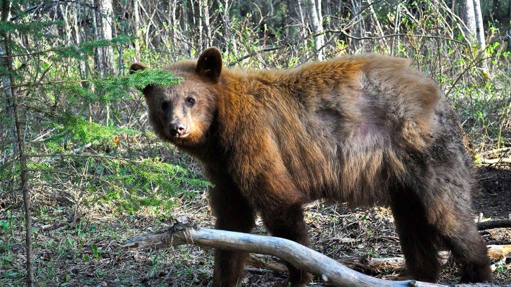 Saskatchewan Bear Hunt