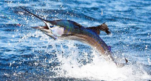 Wild Billz - Sailfish