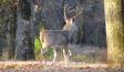 Hunting Whitetail Rut Warm Weather Buck