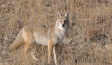 Coyote Hunting Tips: A 101-Guide for the Beginner