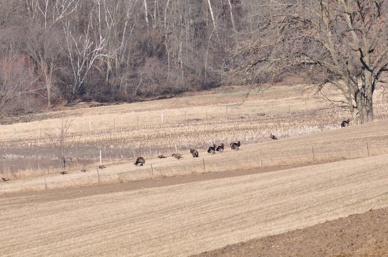 pulling-toms-from-big-winter-turkey-flocks