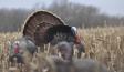Pulling Toms from winter turkey flocks