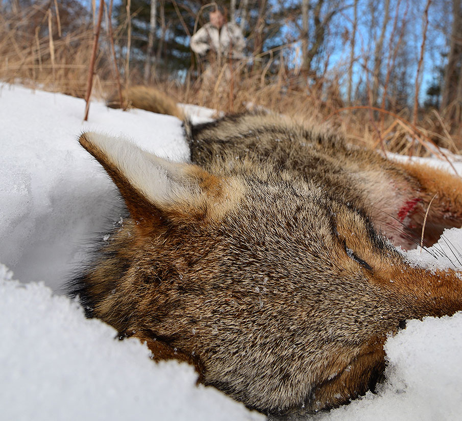 soft-selling-coyote-dead