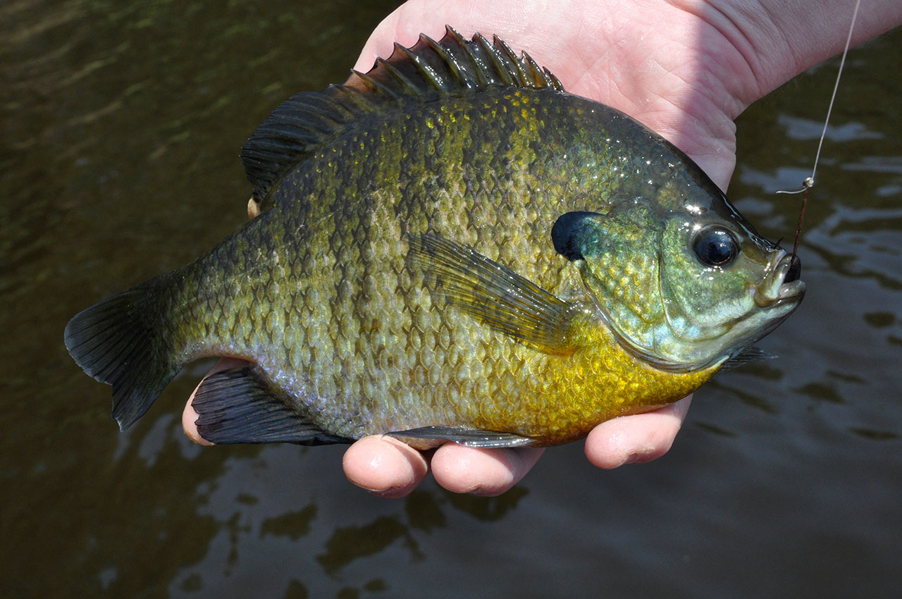 Sight Fishing Sunfish