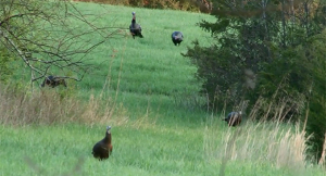 Strategic Position is Critical for Early-Season Turkey Hunting Success