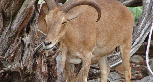 Aoudad Sheep Hunting Offers an Economical, Offseason Adventure