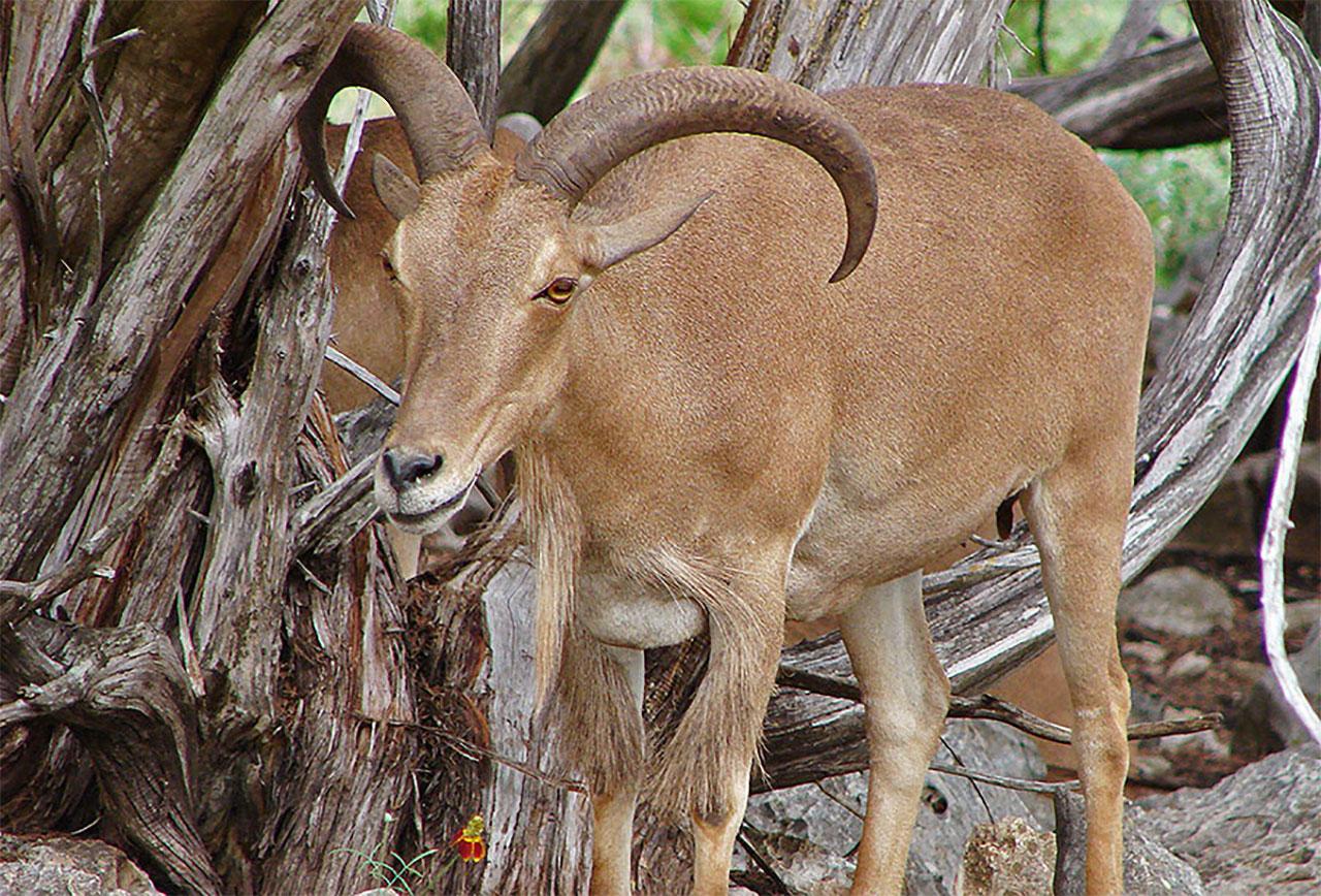 Aoudad sheep hunting