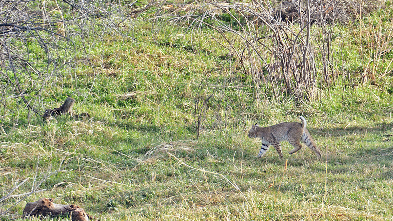 Coyotes aren't the only game in town for predator hunters. Bobcats are smaller targets and require patients along with a slightly different hunting strategy to successfully harvest. (Mike Williams photo)