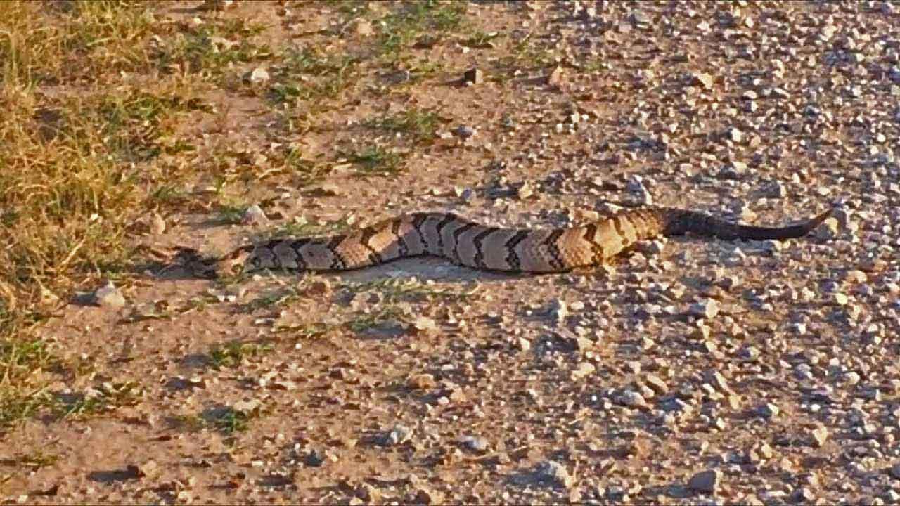 how-to-prevent-snake-bites-timber-rattlesnake