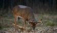 deer-week